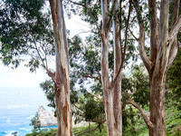 Eucalyptus Trees Big Sur